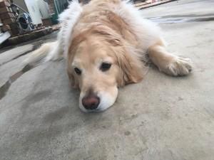 イヌ 疲れる